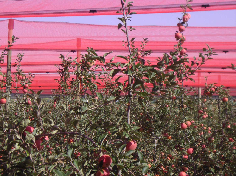 Agricolor-Rojo-en-Finca-San-Miguel-Manzanas.1