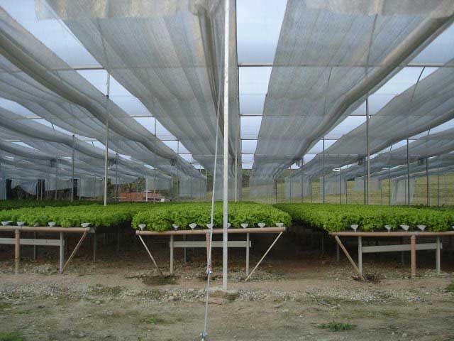 Agrifresh-lechugas-en-hidroponia.2