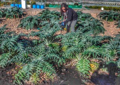 Foto-cultivo-de-cardo-en-suelos-enmnedados-(4)